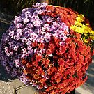 Chrysanthemums planted together by bubblehex08