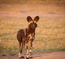 African Wild Dog by noeldolan