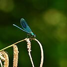 Damsel fly  by Sparowsong