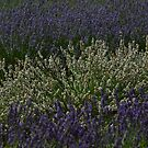 Waves of Lavender  by Sparowsong