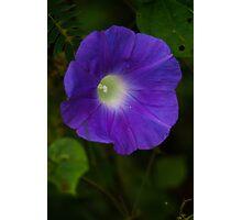 Carnic Purple Photographic Print