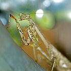 Carolina Praying Mantis  by imagetj