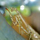 Carolina Praying Mantis  by imagetj