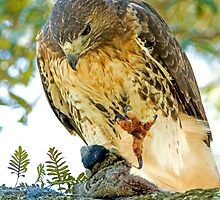 Red Tailed Hawk by TJ Baccari Photography