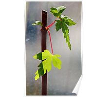 Japanese Maple Seedling Poster