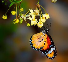 Petit Papillon... by Tracie Louise