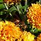 BUGS/ANIMALS ON ORANGE FLOWERS or CHRYSANTHEMUMS