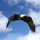 BALD EAGLE IN FLIGHT by TomBaumker