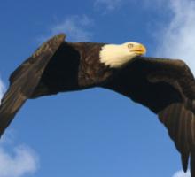 BALD EAGLE IN FLIGHT Sticker