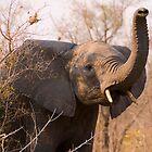 Elephant taking scent by Erik Schlogl