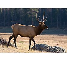 Young bull in Rocky Mountain NP Photographic Print