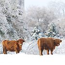 Highland Cattle in winter by Jim Cumming