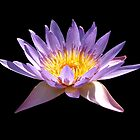 Mauve Waterlily by Sandy1949