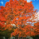 Marvelous Maple by Owed to Nature