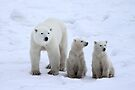 FAMILY PORTRAIT #2 - Polar Bears, Churchill, Canada by Carole-Anne