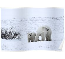 Polar Bear Mother & Cub in the Tundra Poster