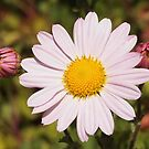 Autumn Daisies by Linda  Makiej