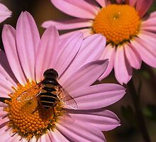 Hoverfly on Daisy by Linda  Makiej