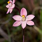 Salmon Sun Orchid - Thelymitra rubra by Paul Piko