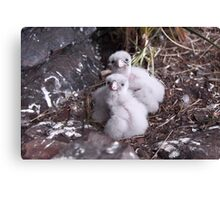 Baby peregrine falcons  Canvas Print