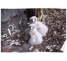 Baby peregrine falcons  Poster