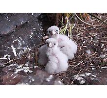 Baby peregrine falcons  Photographic Print
