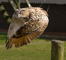 Flying owl at full stretch looking into the camera by Old-Time-Images