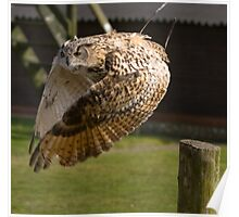 Flying owl at full stretch looking into the camera Poster