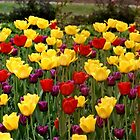 Tulip Extravaganza  by Larry Trupp