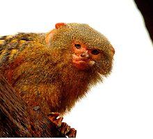 Pygmy Marmoset by Barnbk02