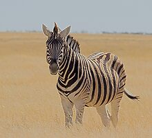 Zebra by markmucke