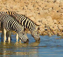 Zebras drinking Tandem by markmucke