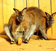 Resting Wallabies by Barnbk02