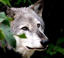 Timber Wolf 1 by Barnbk02