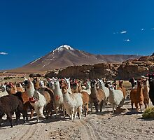 Llama (Lama glama) in Andes landscape by travel4pictures