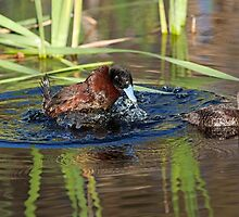 Courting Blue Billed Ducks by mncphotography