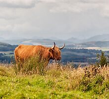 Cow on the brae by Glaspark