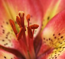 Arsenal Lily by Chris Day