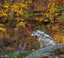 Lone Wolf - Timber Wolf by Jim Cumming