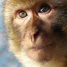 Gibraltar Rock Ape - Barbary Macaque iPad case by Dennis Melling