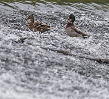 River Life - Mallard Pair by Alec Owen-Evans