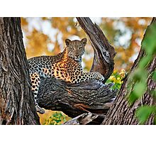 female Leopard lying on a tree Photographic Print