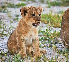 lion cub (Panthera Leo) by travel4pictures
