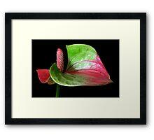 Flamingo Portrait. Framed Print