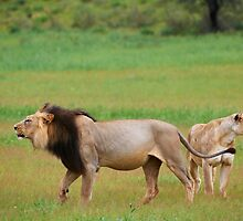 male lion and lioness standing in Kalahari by travel4pictures