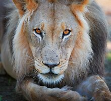expressive looking male lion by travel4pictures