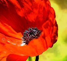 Red Poppy by LudaNayvelt