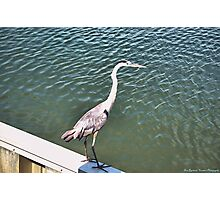 Tri-Colored Heron, on the Wall Photographic Print