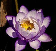 Lotus flower by DBigwood