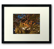 Snow gums, Snowy Mountains, Australia Framed Print